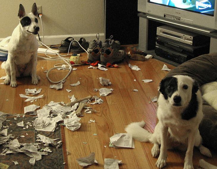 imagenesdemascotasgraciosas28 30 Imágenes Graciosas de Mascotas Haciendo cosas indebidas en Casa