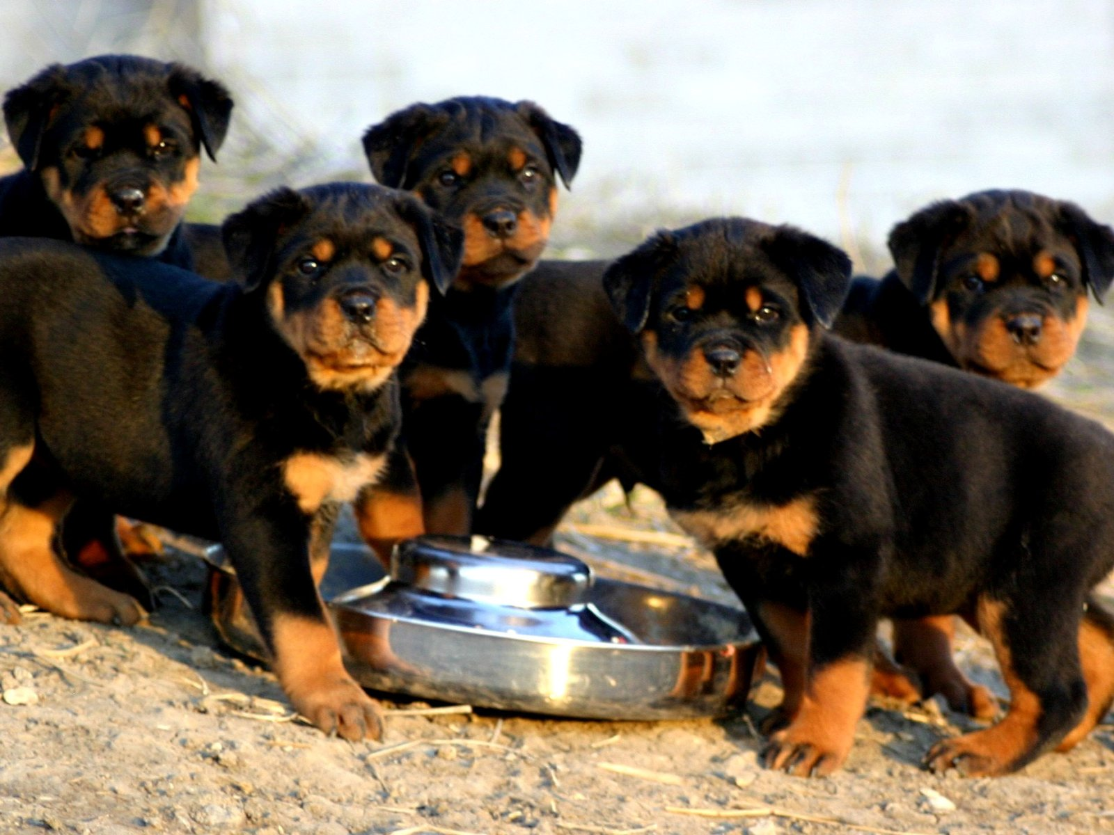 imagenes de perros rottweiler11 Imágenes de Perros Rottweiler