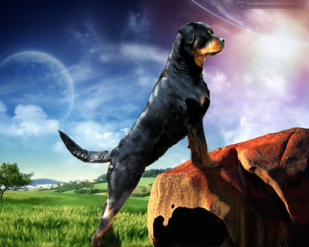 imagenes de perros rottweiler12 Imágenes de Perros Rottweiler