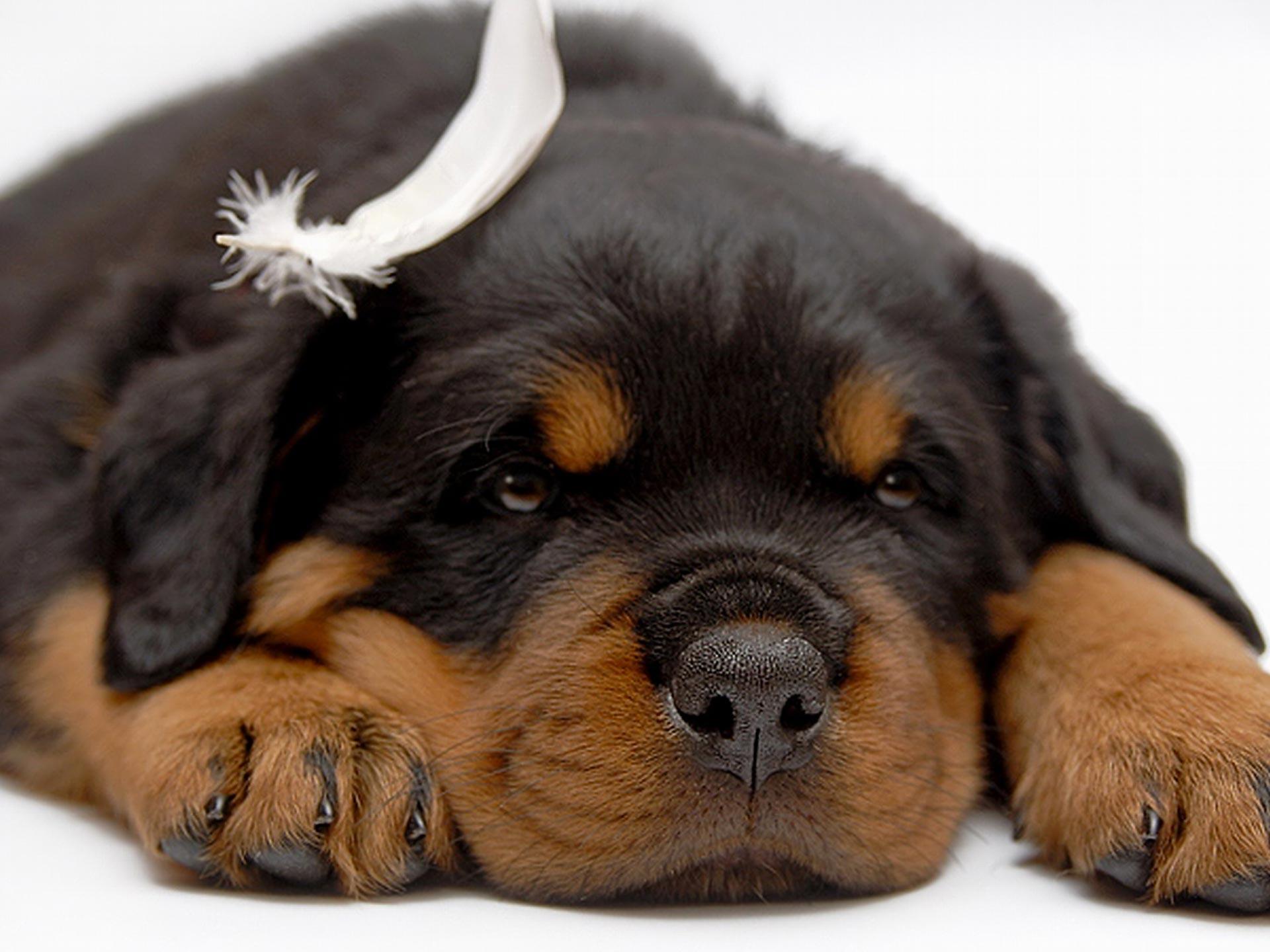 imagenes de perros rottweiler14 Imágenes de Perros Rottweiler