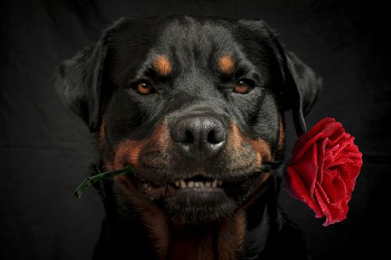 imagenes de perros rottweiler19 Imágenes de Perros Rottweiler