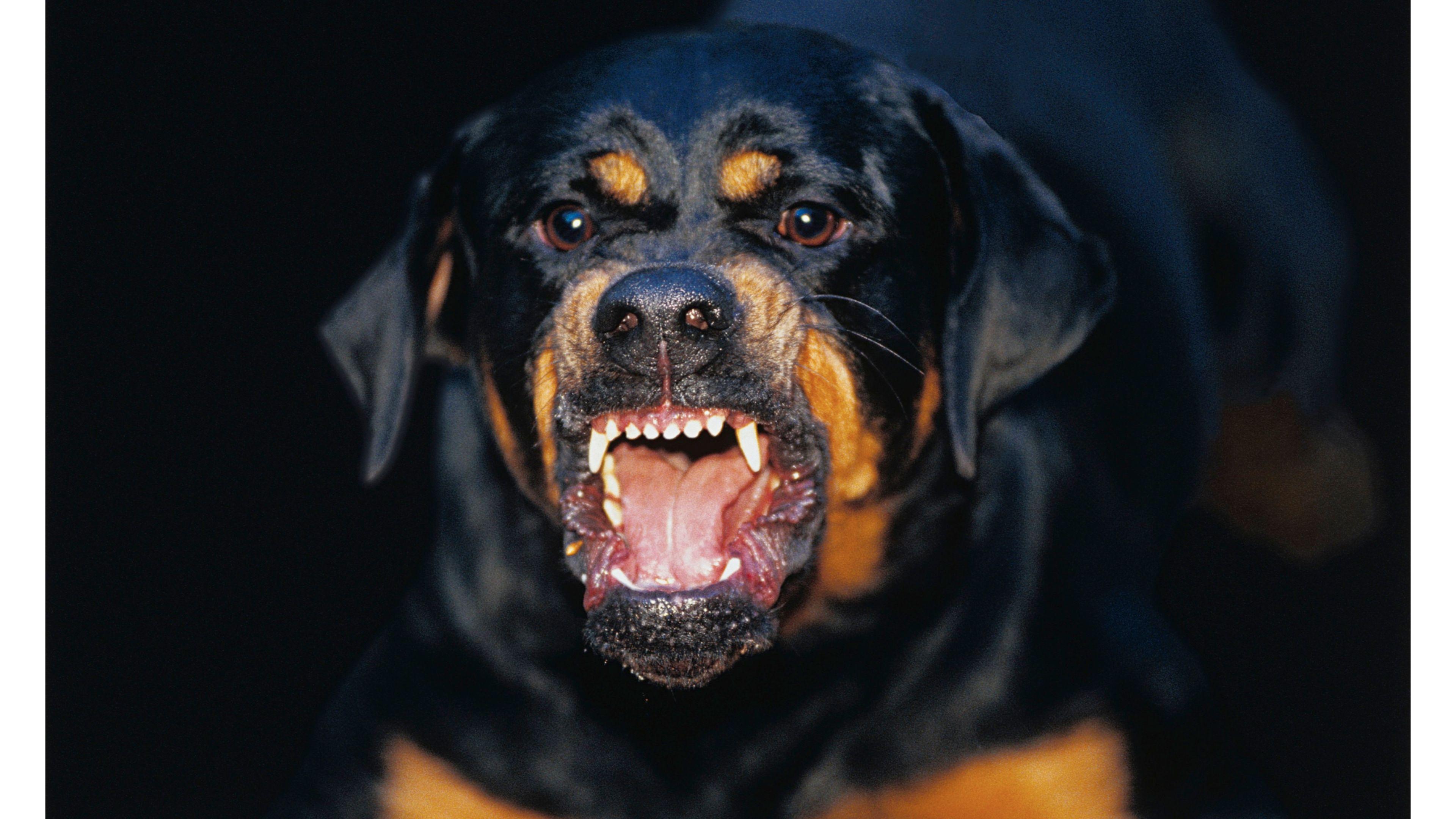 imagenes de perros rottweiler29 Imágenes de Perros Rottweiler