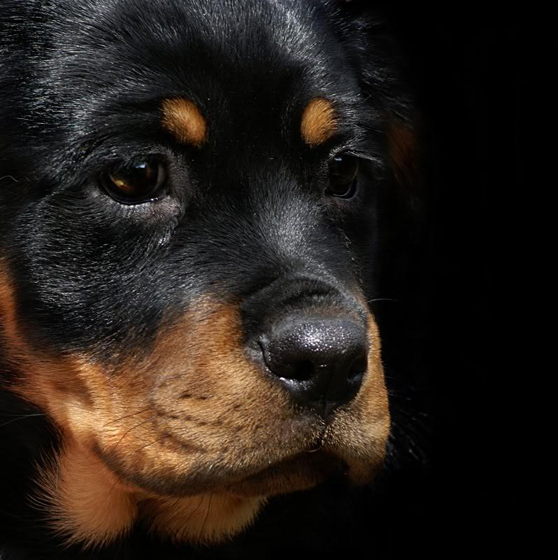 imagenes de perros rottweiler9 Imágenes de Perros Rottweiler