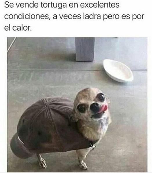 imagenes graciosas para compartir en Whatsapp perro tortuga 40 Nuevas Imágenes Graciosas para Compartir en Whatsapp