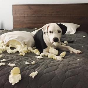 imagenes graciosas y divertidas perro en la cama 300x300 80 Imágenes para Whatsapp Graciosas y Divertidas