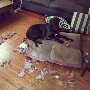 imagenes graciosas y divertidas rompio su cama este perrito 300x300 80 Imágenes para Whatsapp Graciosas y Divertidas